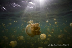 Jellyfish Lake-Palau by Richard Goluch 